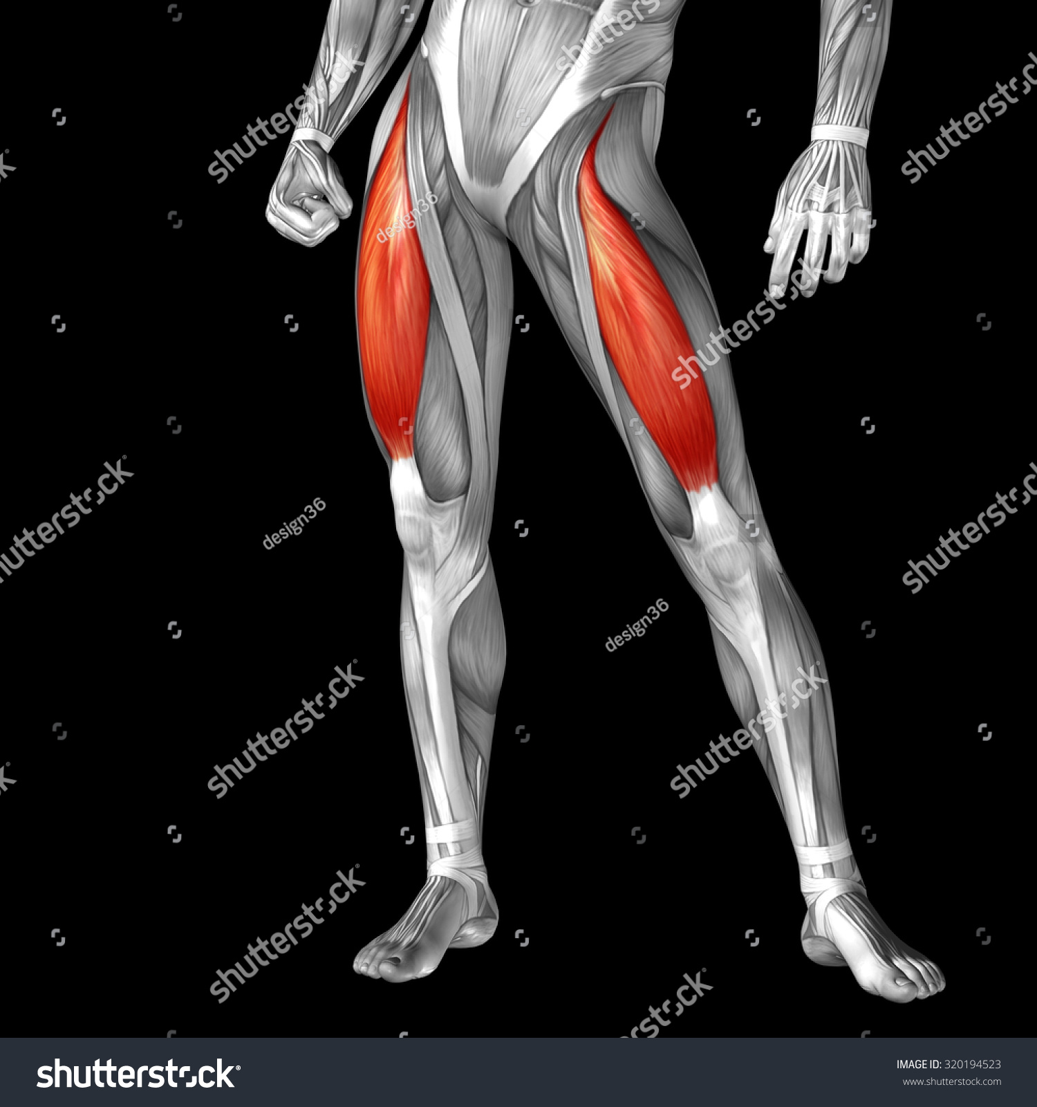 Conceptual 3 D Adductor Longus Human Upper Stock Illustration