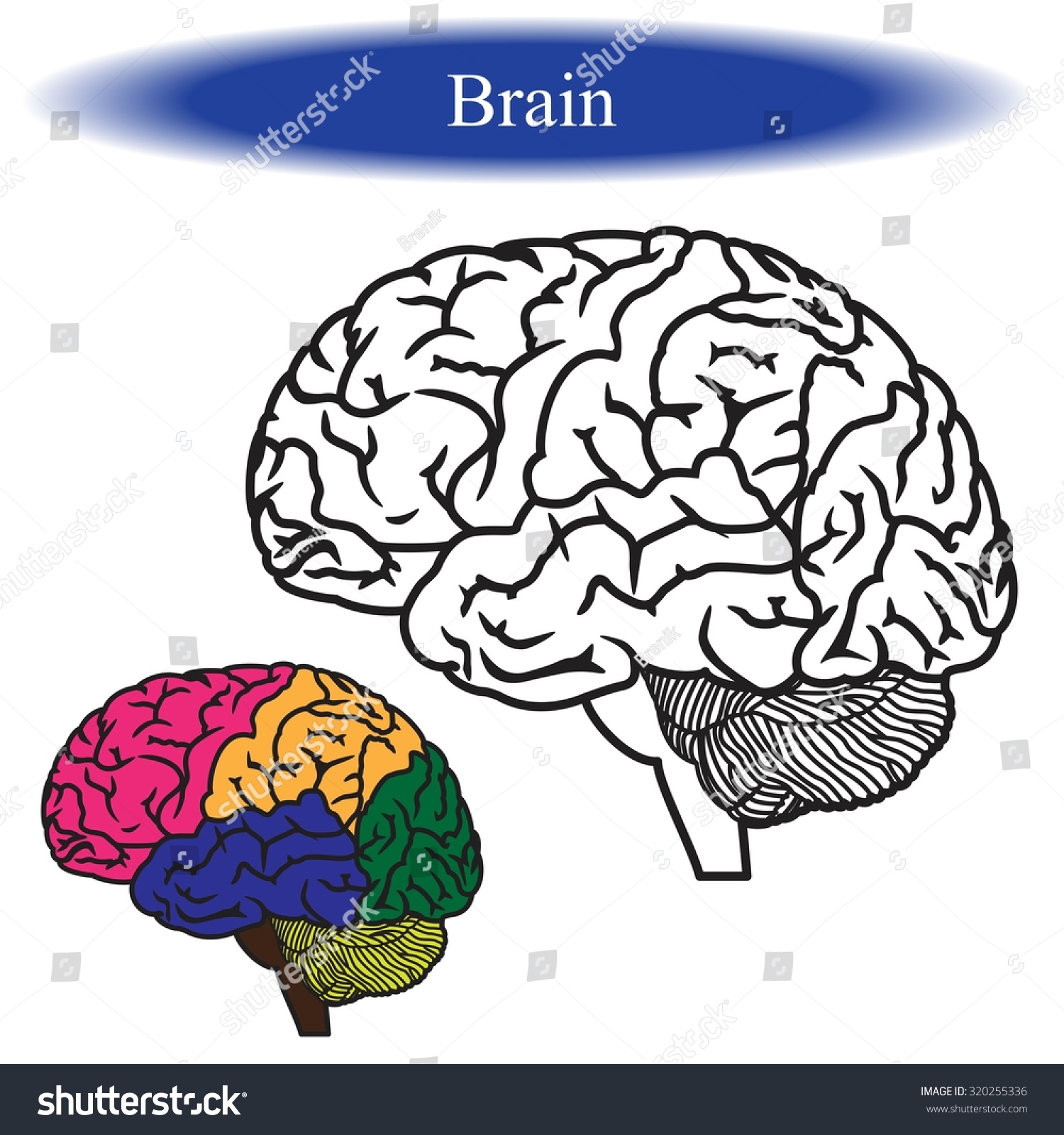 91 Neuroanatomy Coloring Book Pdf
