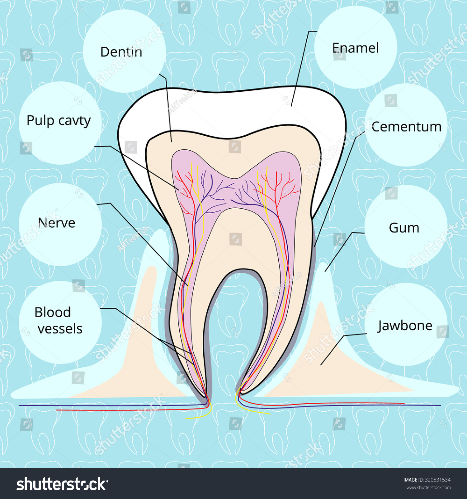 Structure tooth vector illustration stock illustration 320531534 the structure of the tooth vector illustration biocorpaavc Image collections