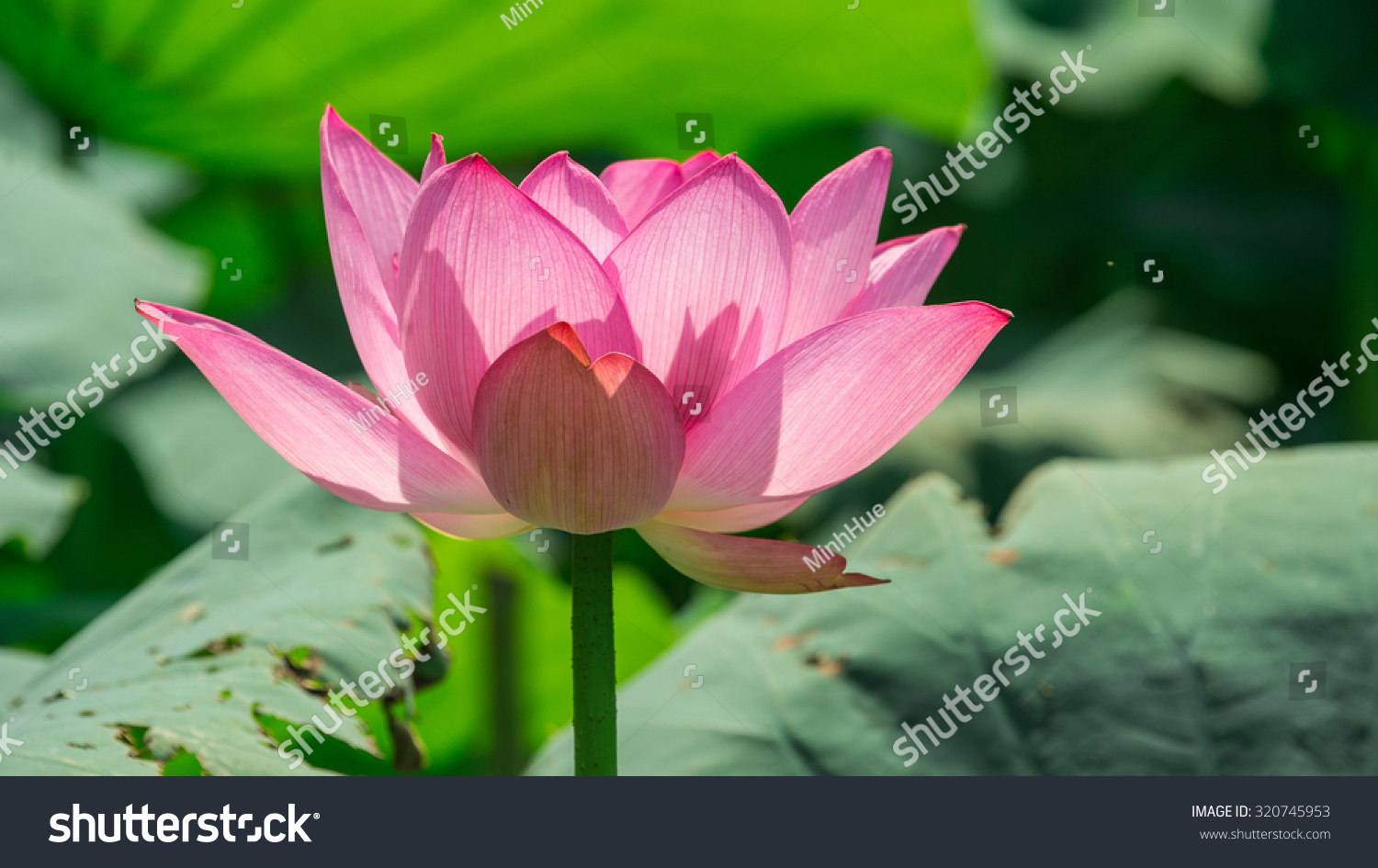 Lotus flower background lotus symbol vietnamese stock photo royalty lotus flower background lotus symbol vietnamese stock photo royalty free 320745953 shutterstock mightylinksfo