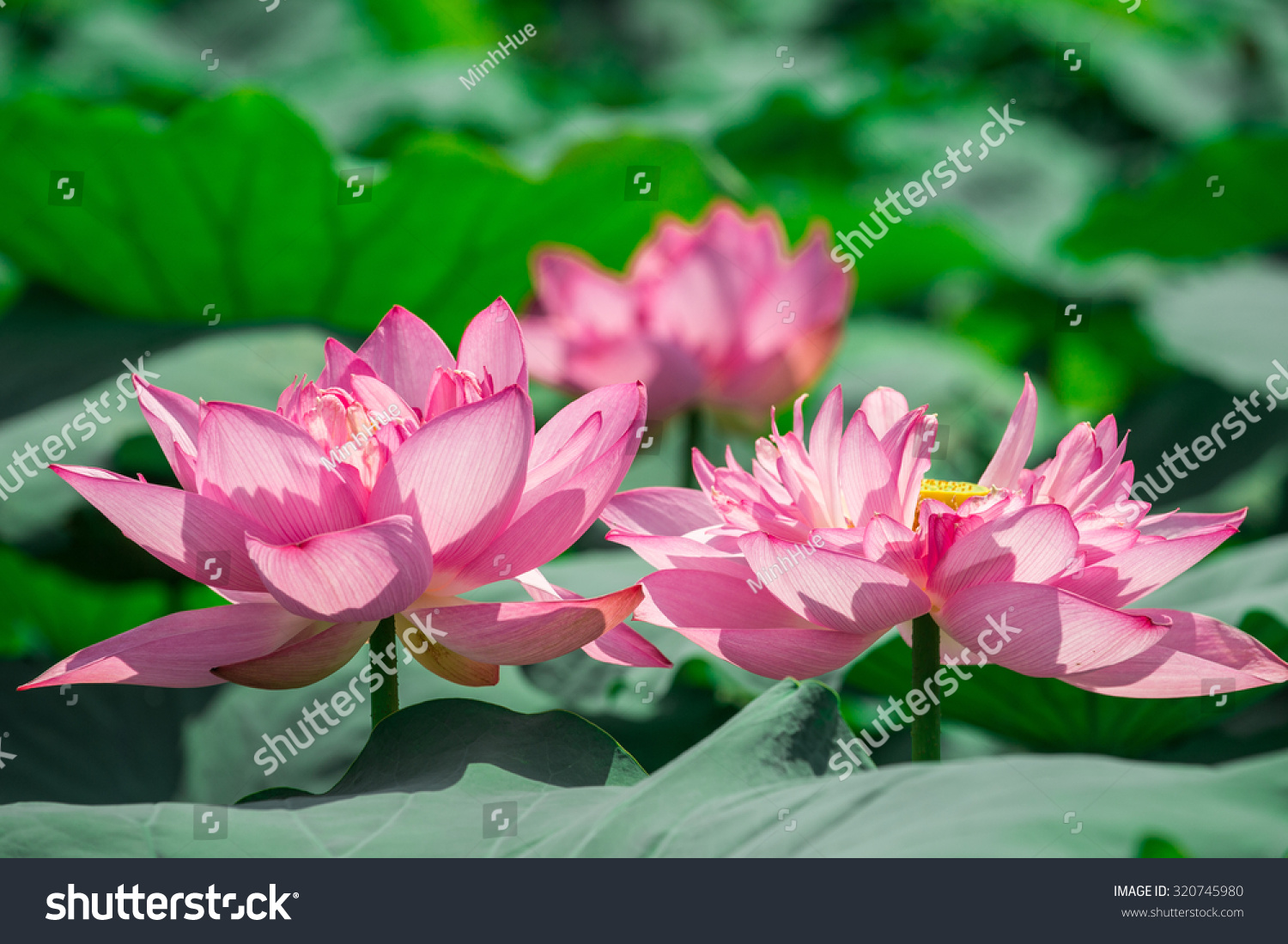 Lotus flower background lotus symbol vietnamese stock photo lotus flower background lotus is symbol for vietnamese mightylinksfo