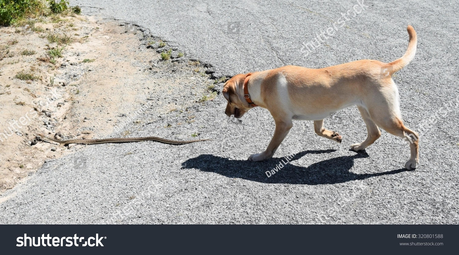 Dog chases snake: A yellow Labrador (lab) retriever chases a gopher snake in the hills of Monterey, in central California (United States).