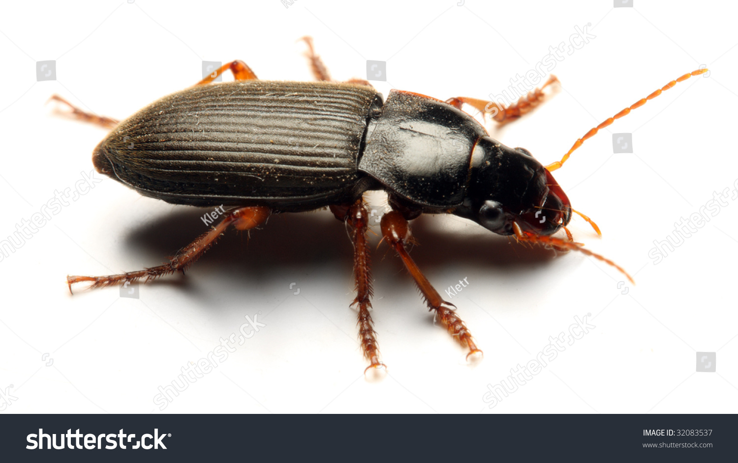 Adult tenebrio molitor meal beetle mealworms are for Mealworms for fishing