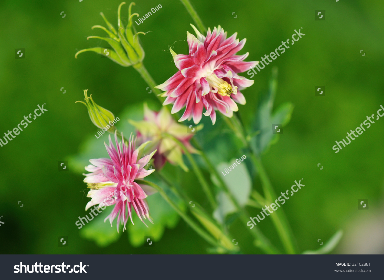 Double pink columbine flowers garden stock photo 32102881 double pink columbine flowers in garden dhlflorist Image collections