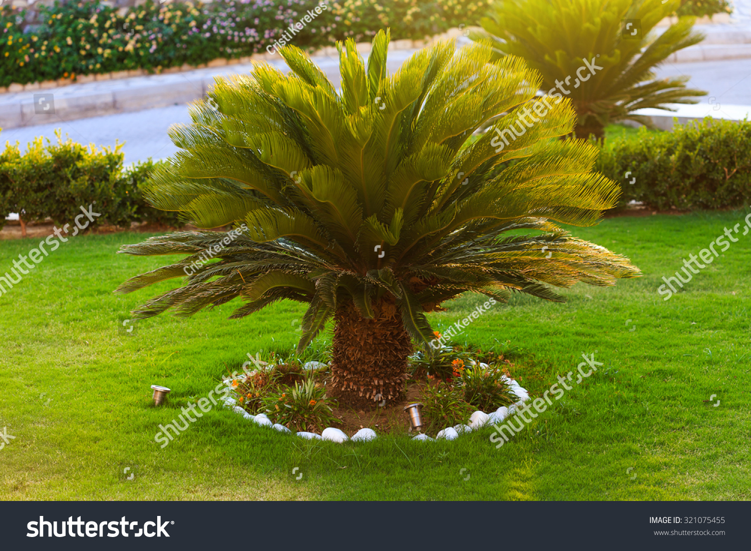 good looking sago palm trees growing stock photo 321075455