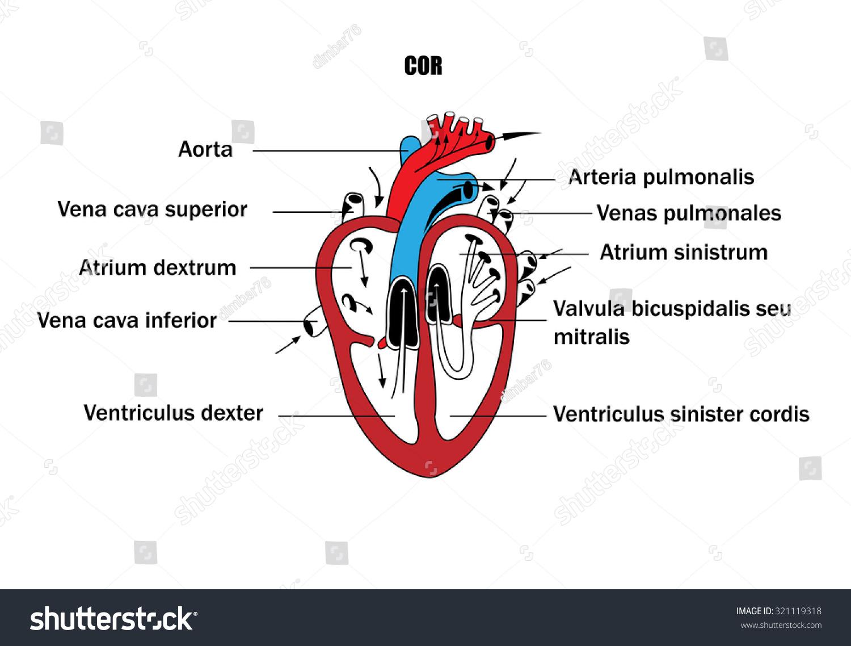 schematic representation internal organs anatomy heart stock, Muscles