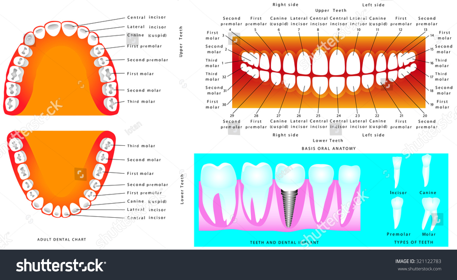 Anatomy Teeth Adult Teeth Anatomy Dental Stock Vektorgrafik
