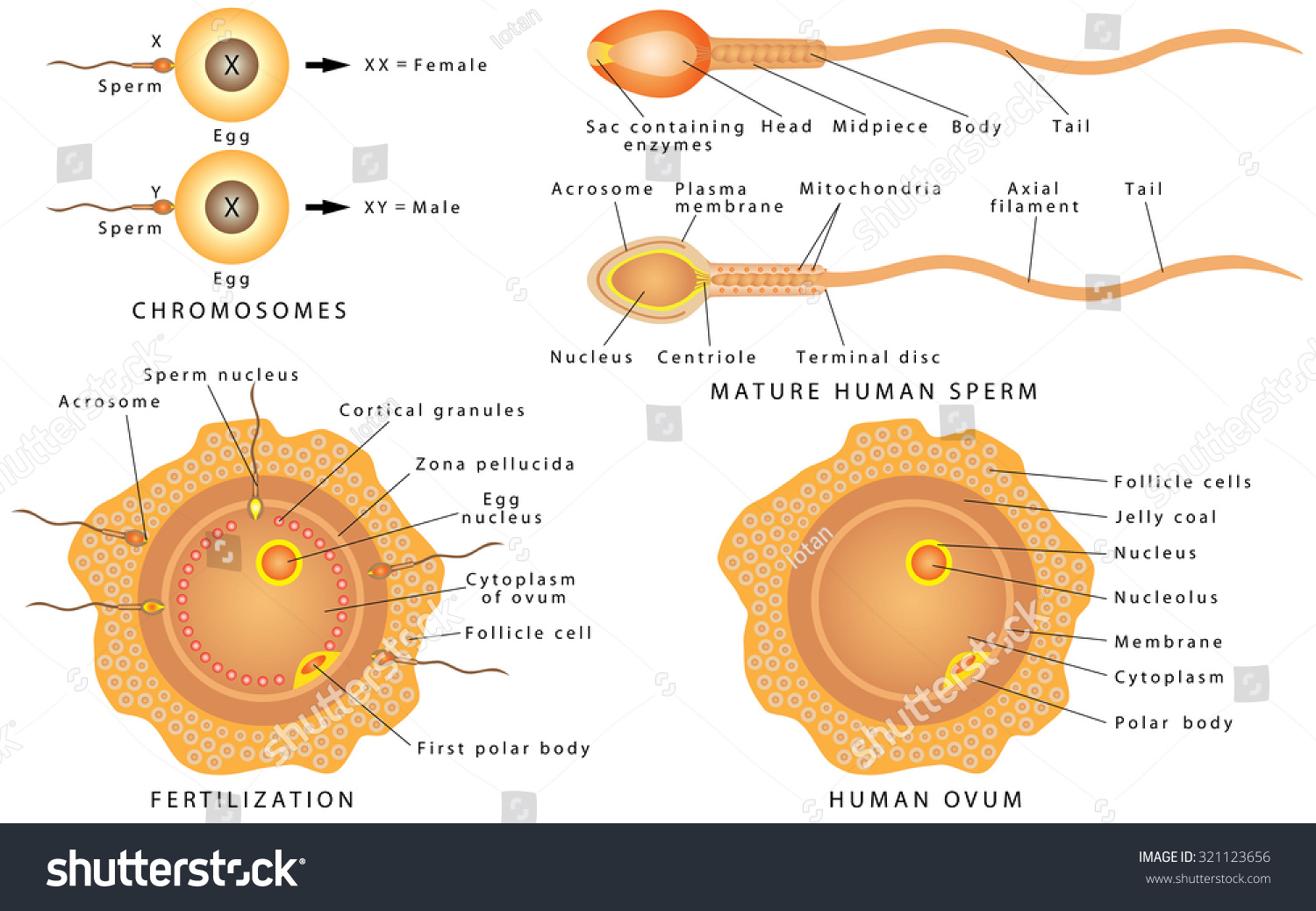 Human sperm cells and egg cells are haploid, - OpenS