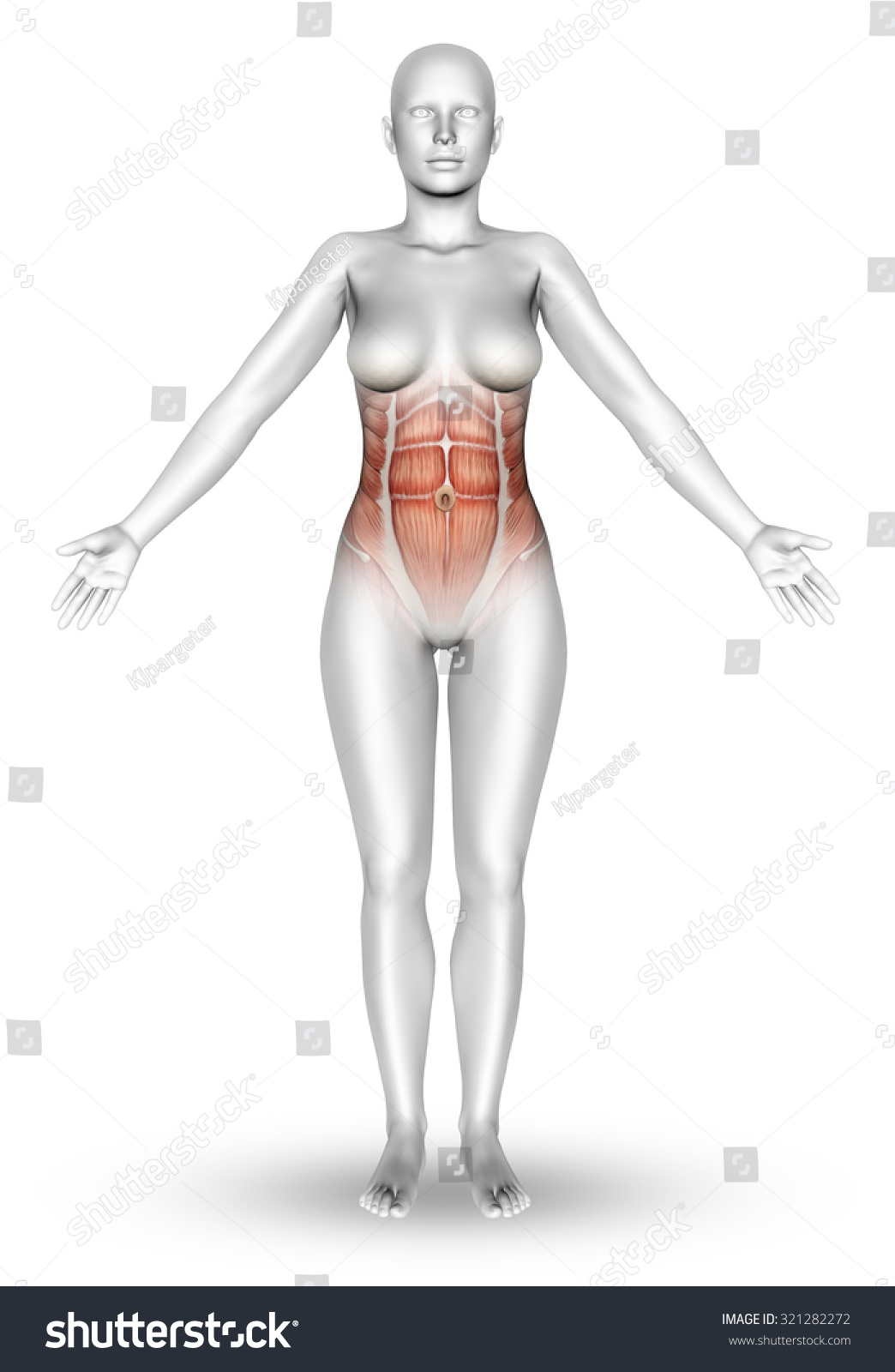 3 D Render Female Figure Muscle Map Stock Illustration 321282272 ...