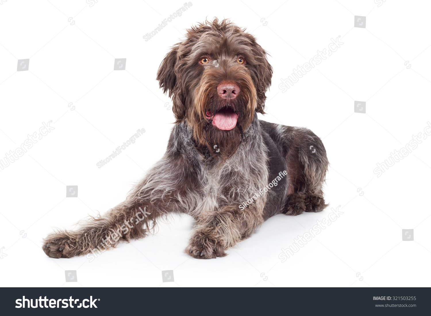 German Wirehaired Pointer Dog Expectant Stock Photo (Royalty Free ...