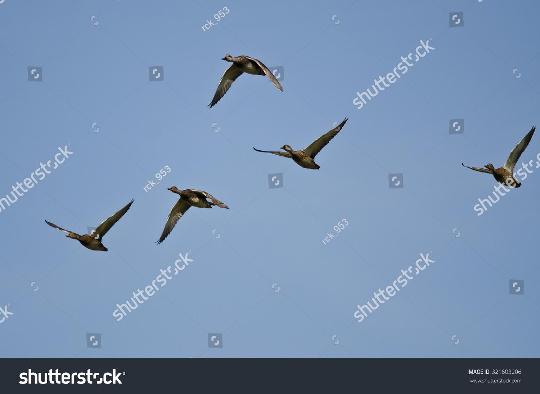 Flock Ducks Flying Blue Sky Stock Photo 321603206 ...  Flock
