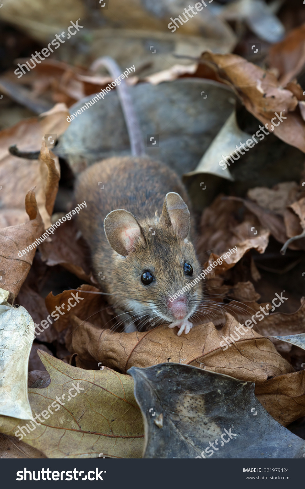Wood mouse in deep leaf litter on forest floor mouse wood for Mice in between floors