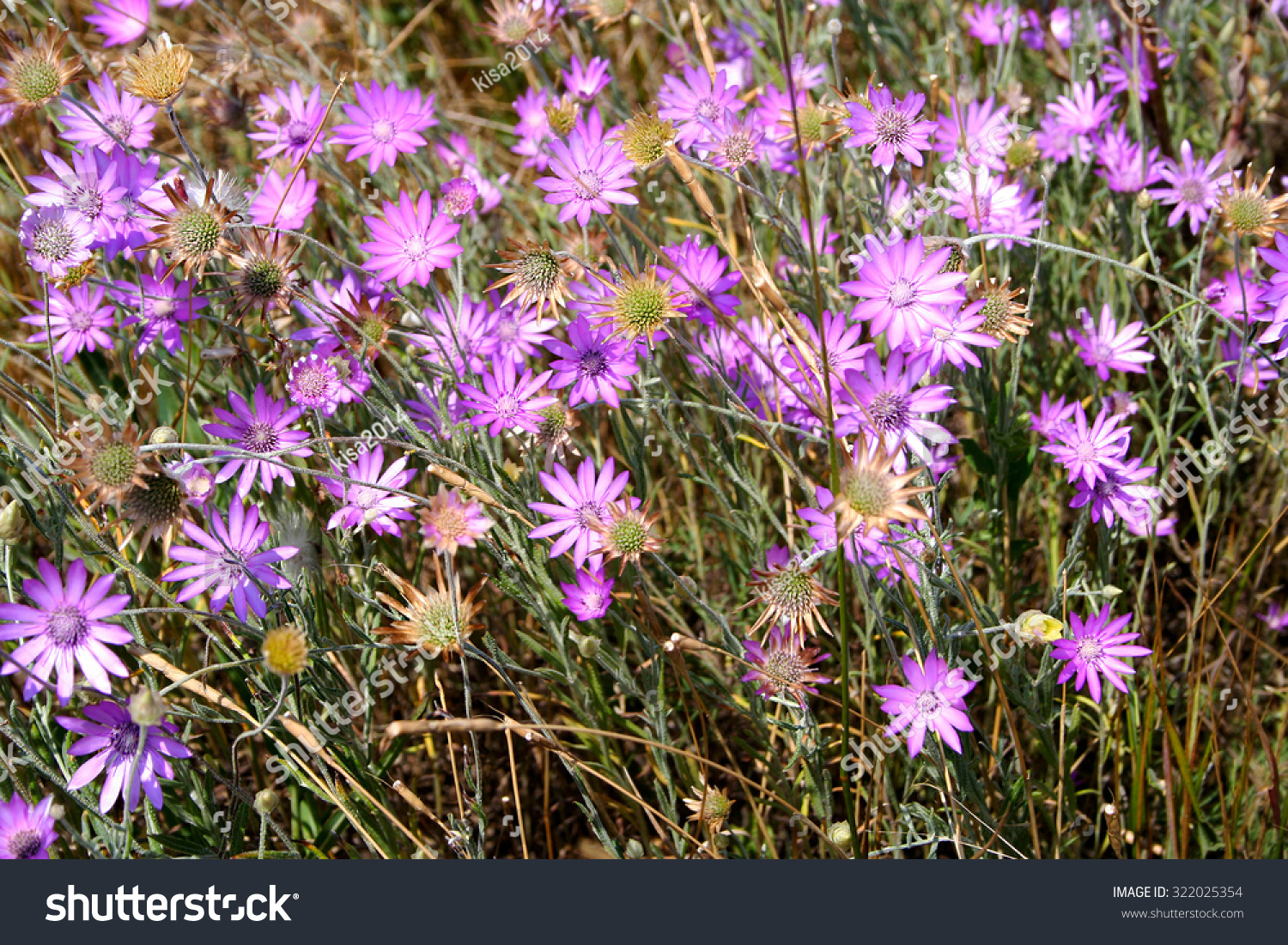 Field flowers similar purplepink daisy stock photo 322025354 field of flowers similar to the purple pink daisy izmirmasajfo Choice Image