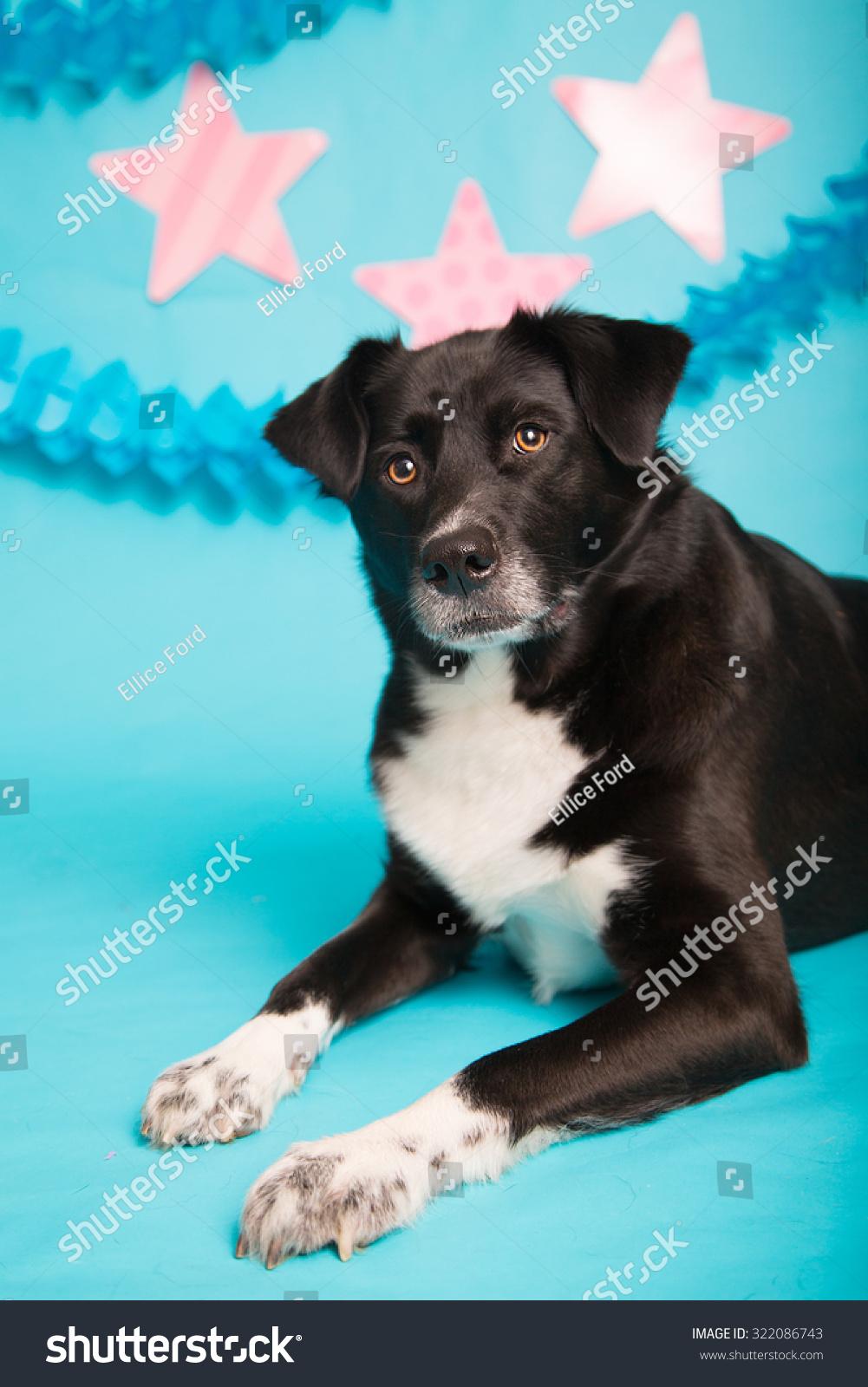 Black Labrador Retrieverhusky Mix Dog Stock Photo (Edit Now ...