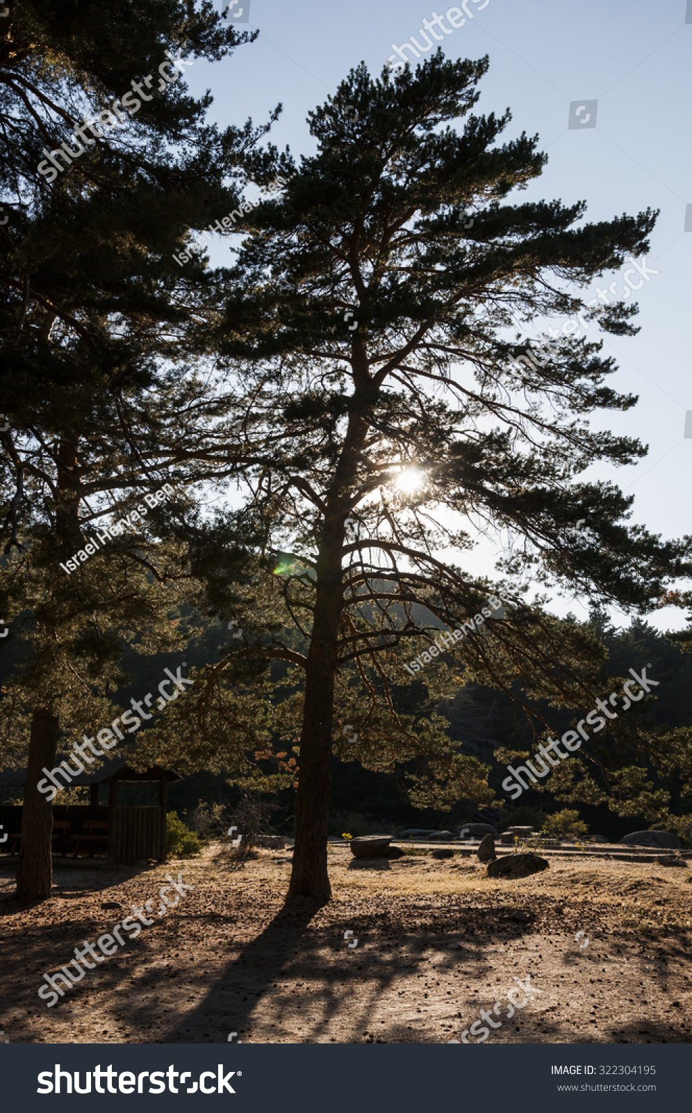 Scots pine forest in guadarrama mountains madrid spain - Madrid forest ...