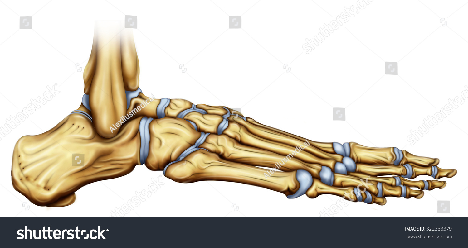 Illustration Skeletal Structure Foot Front Side Stock Illustration ...