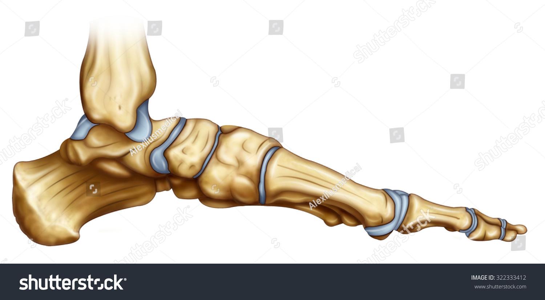 Illustration Skeletal Structure Foot Inner Side Stock Illustration ...