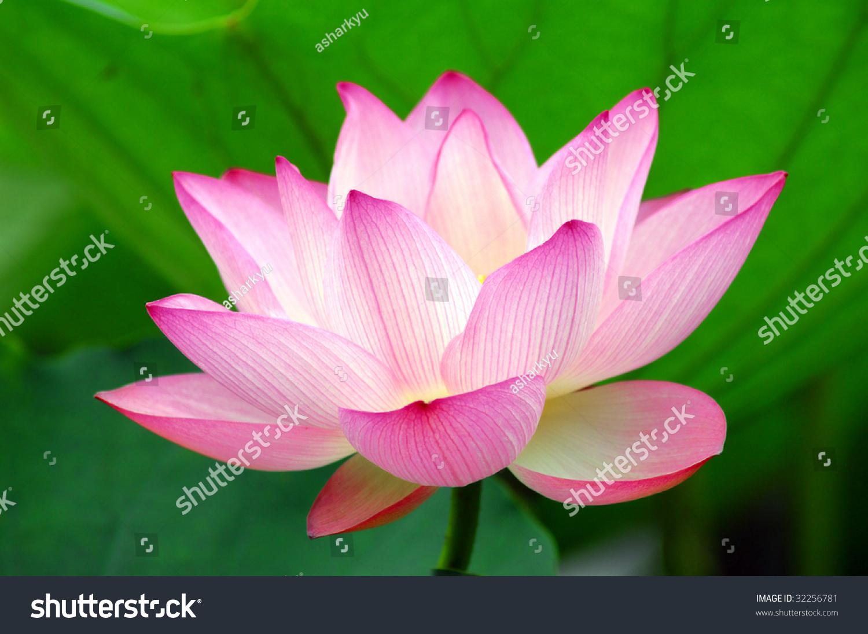 Blooming lotus flower over green backgrounde more lotus in my id 32256781 izmirmasajfo