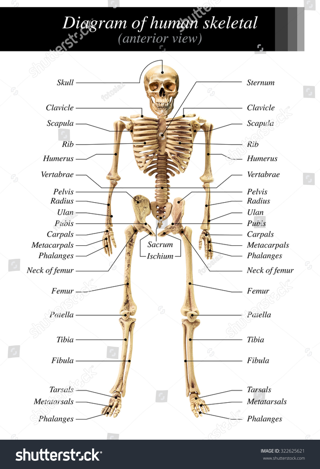 human skeleton diagram anterior view on stock photo (edit now