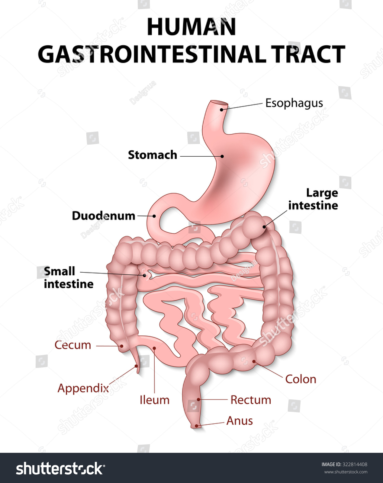 Gastrointestinal Tract Includes All Structures Between Stock ...