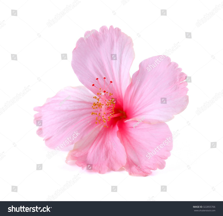 Pink hibiscus flower isolated on white stock photo edit now pink hibiscus flower isolated on white background izmirmasajfo