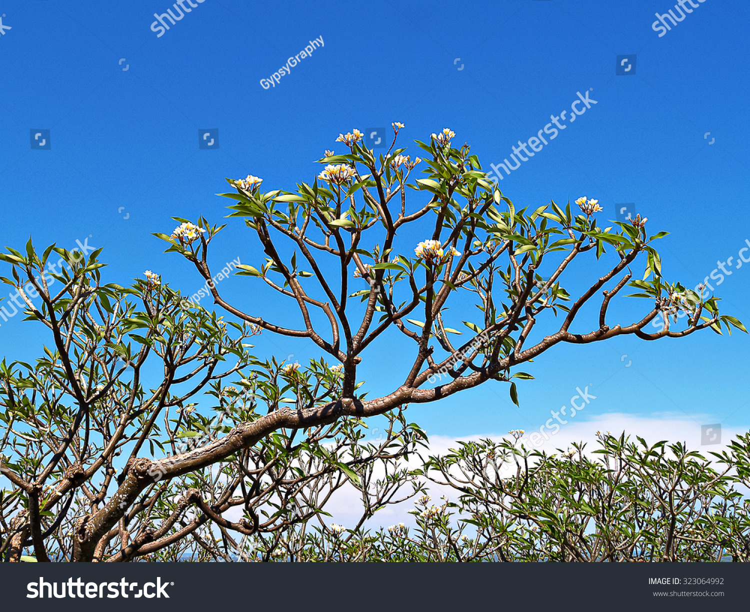 Frangipani flowers on a tree with blue sky plumeria temple tree id 323064992 izmirmasajfo