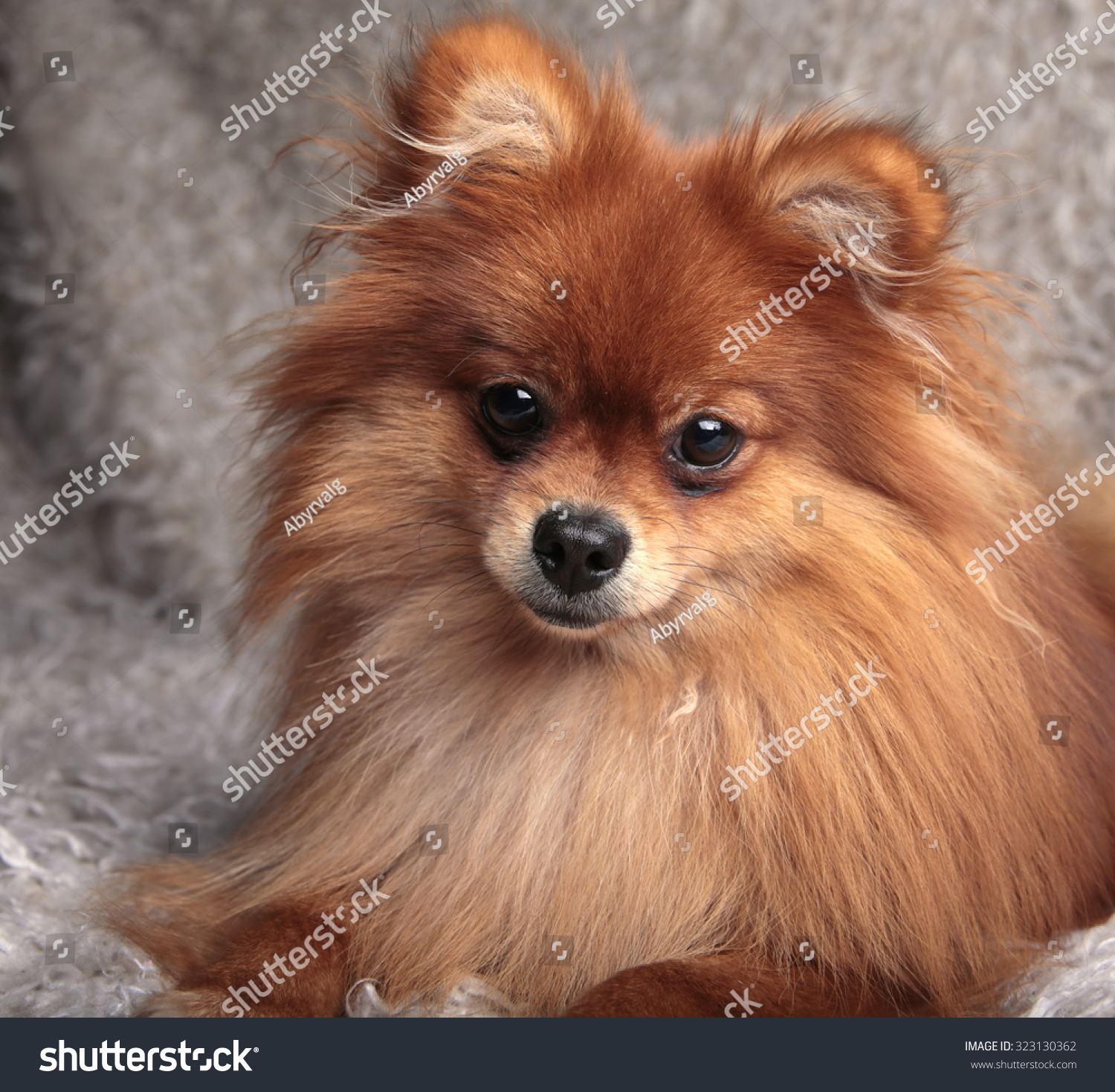 Cute Pomeranian spitz dog