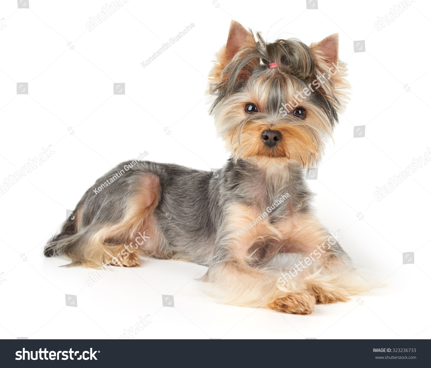 One Yorkshire Terrier With Haircut Looking At Camera Ez Canvas