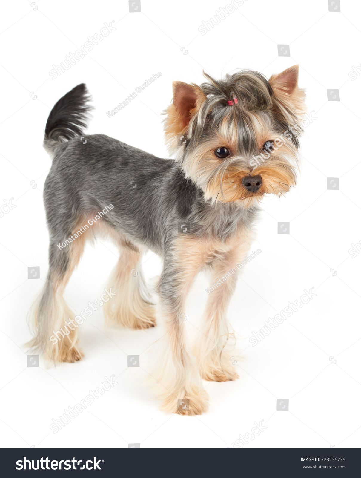 Yorkshire Terrier Short Hair Stands On Stock Photo Edit Now