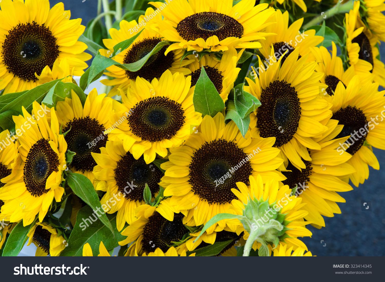 Sunflower Plants Yellow Flowers Bloom Stock Photo Edit Now