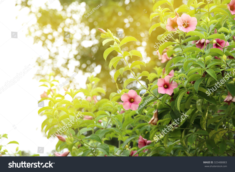 Pink trumpet flower bush yellow light stock photo image royalty pink trumpet flower bush with yellow light mightylinksfo