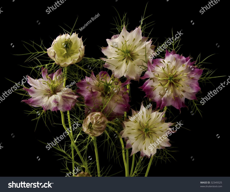 Pink White Nigella Flowers On Black Stock Photo Royalty Free