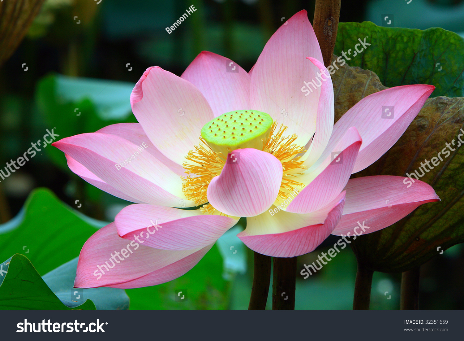 Red Lotus Flowers Blossom Stock Photo Royalty Free 32351659
