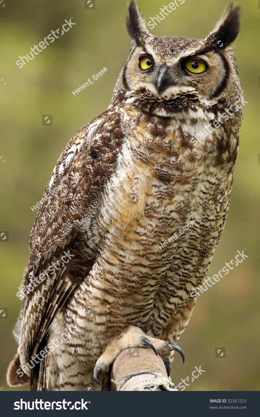 Closeup Great Horned Owl Bubo Virginianus Stock Photo Edit Now