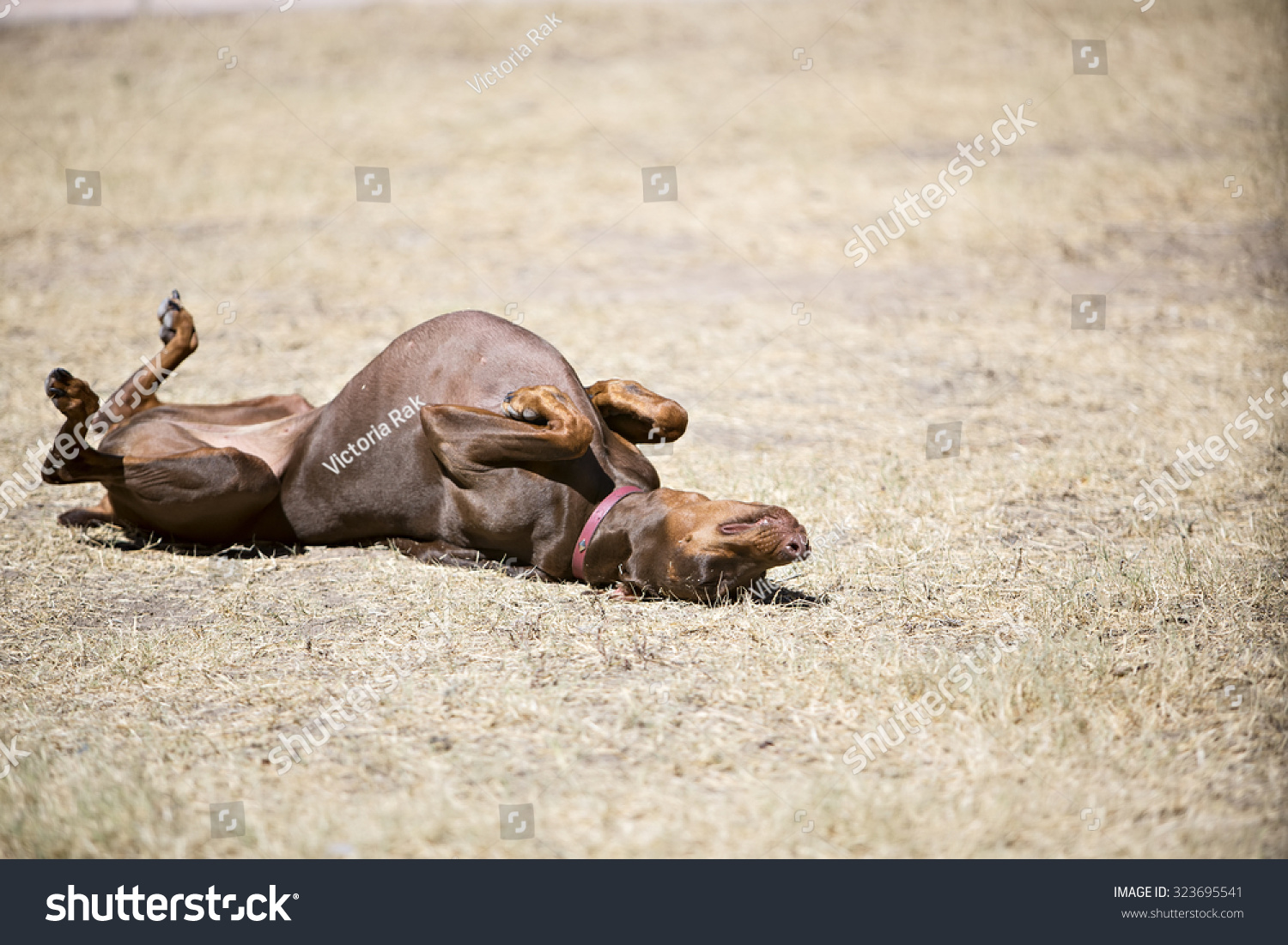 Red doberman rolling on ground outside stock photo