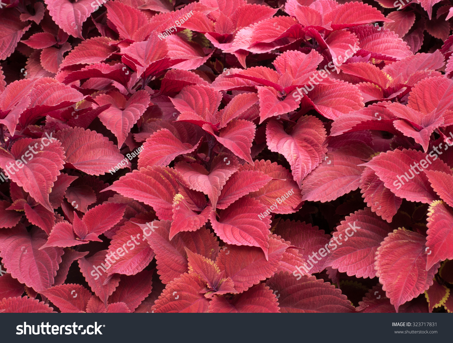 bright red leaves red coleus plants stock photo, Natural flower