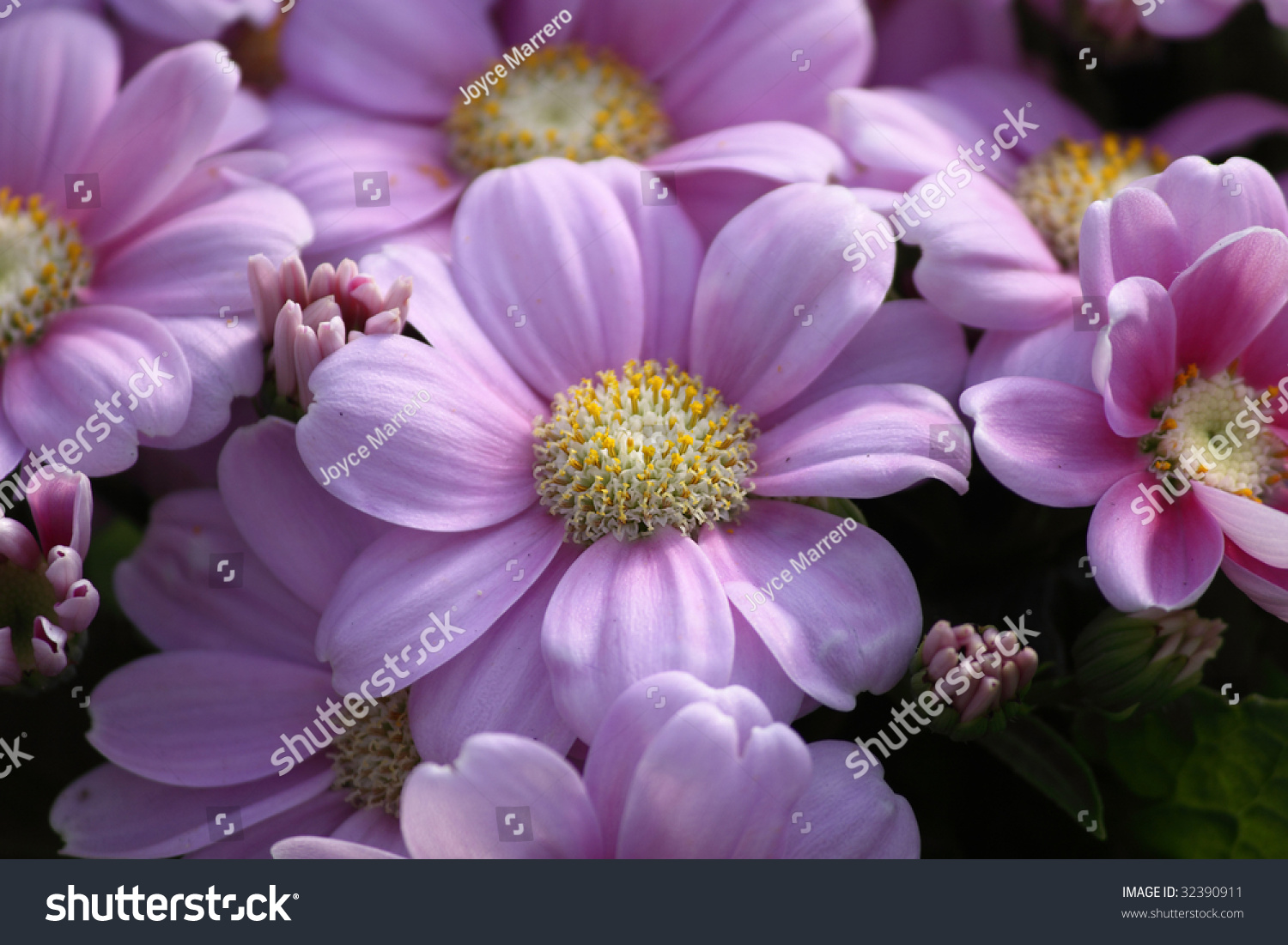 Pinkish Purple Daisylike Flowers Yellow Centers Stock Photo Royalty