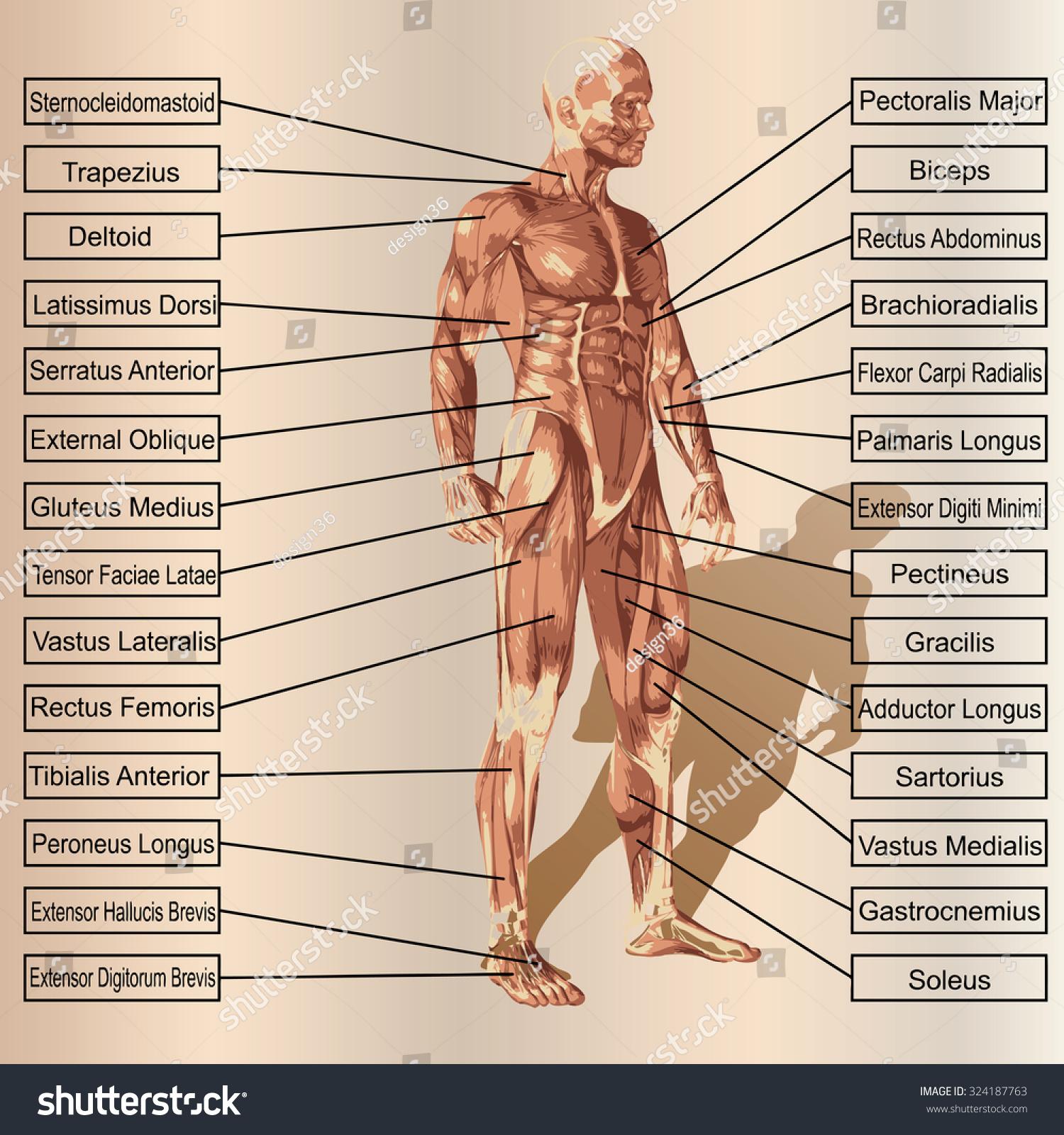 Charmant Nasm Anatomie Mann Bilder - Physiologie Von Menschlichen ...