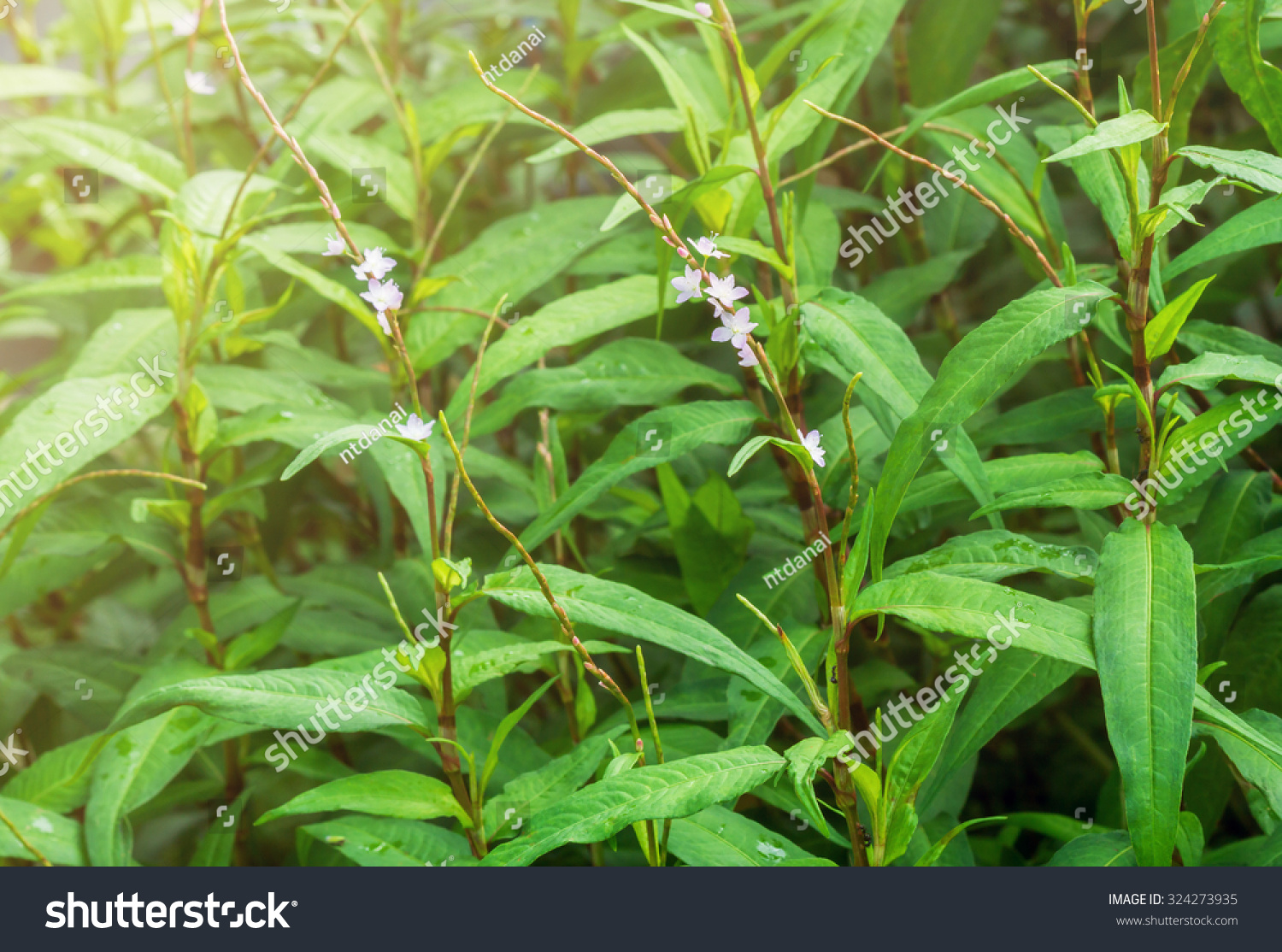 Fresh Vietnamese Coriander Plant With Blooming Pink Flower In