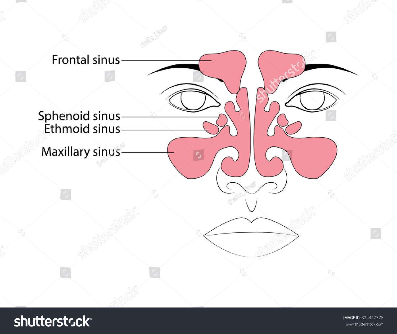 Anatomy Paranasal Sinuses Sinusitis Stock Vector Royalty Free