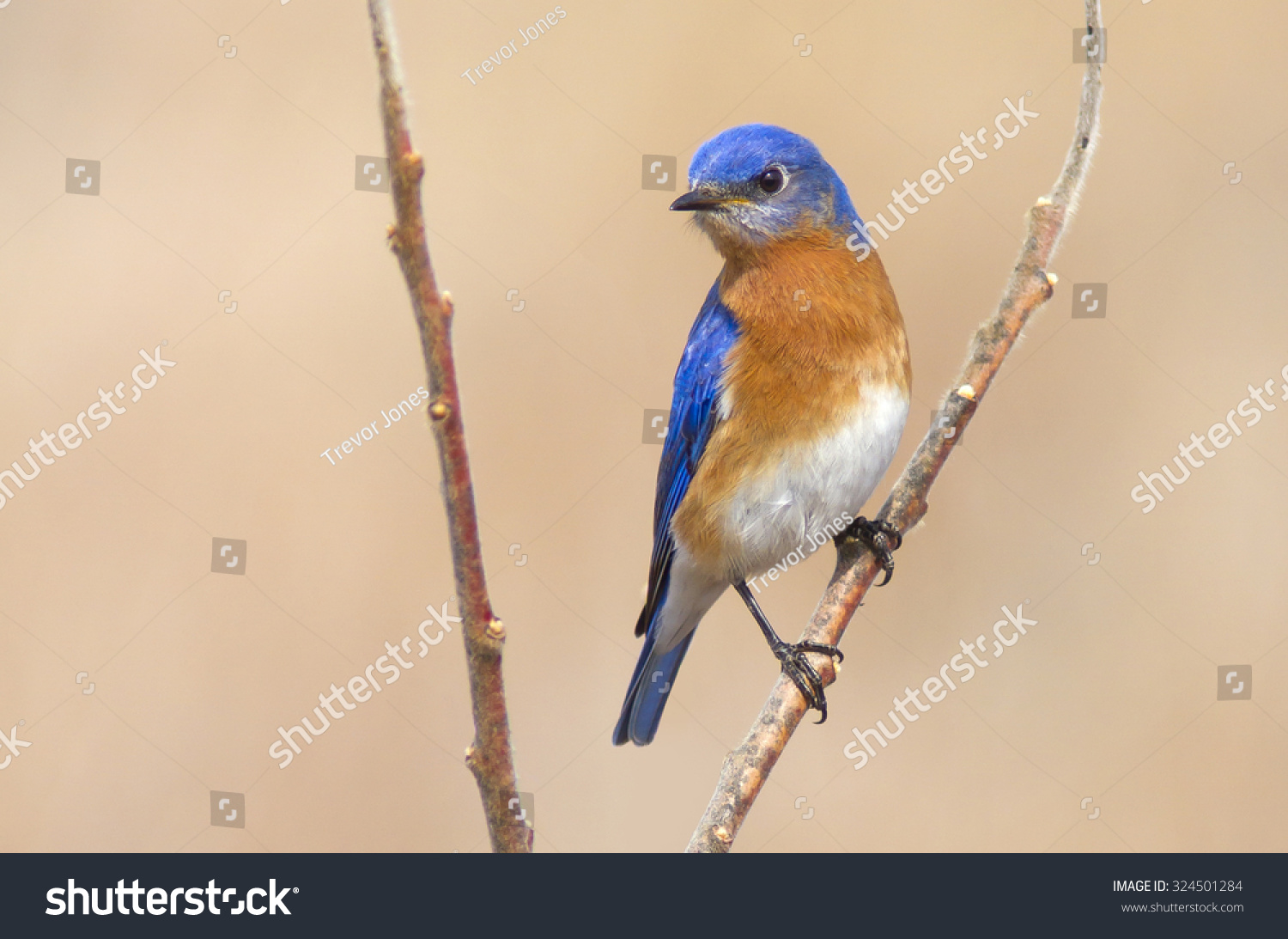 male eastern bluebird perched on branch stock photo 324501284