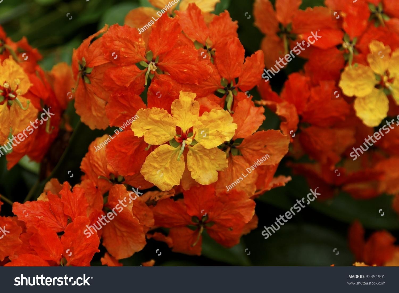 Yellow Orange Geranium Flowers Stock Photo Edit Now 32451901