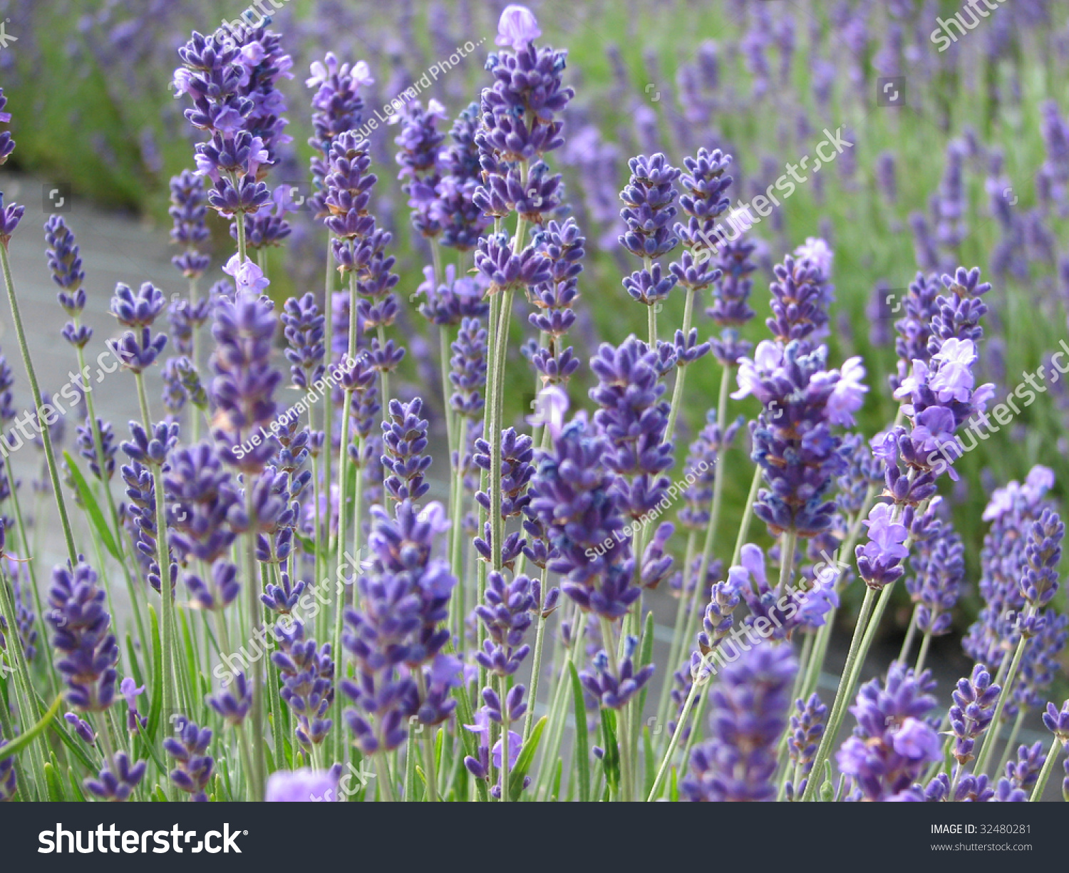 Beautiful lavender flowers in full bloom waiting to be harvested id 32480281 izmirmasajfo