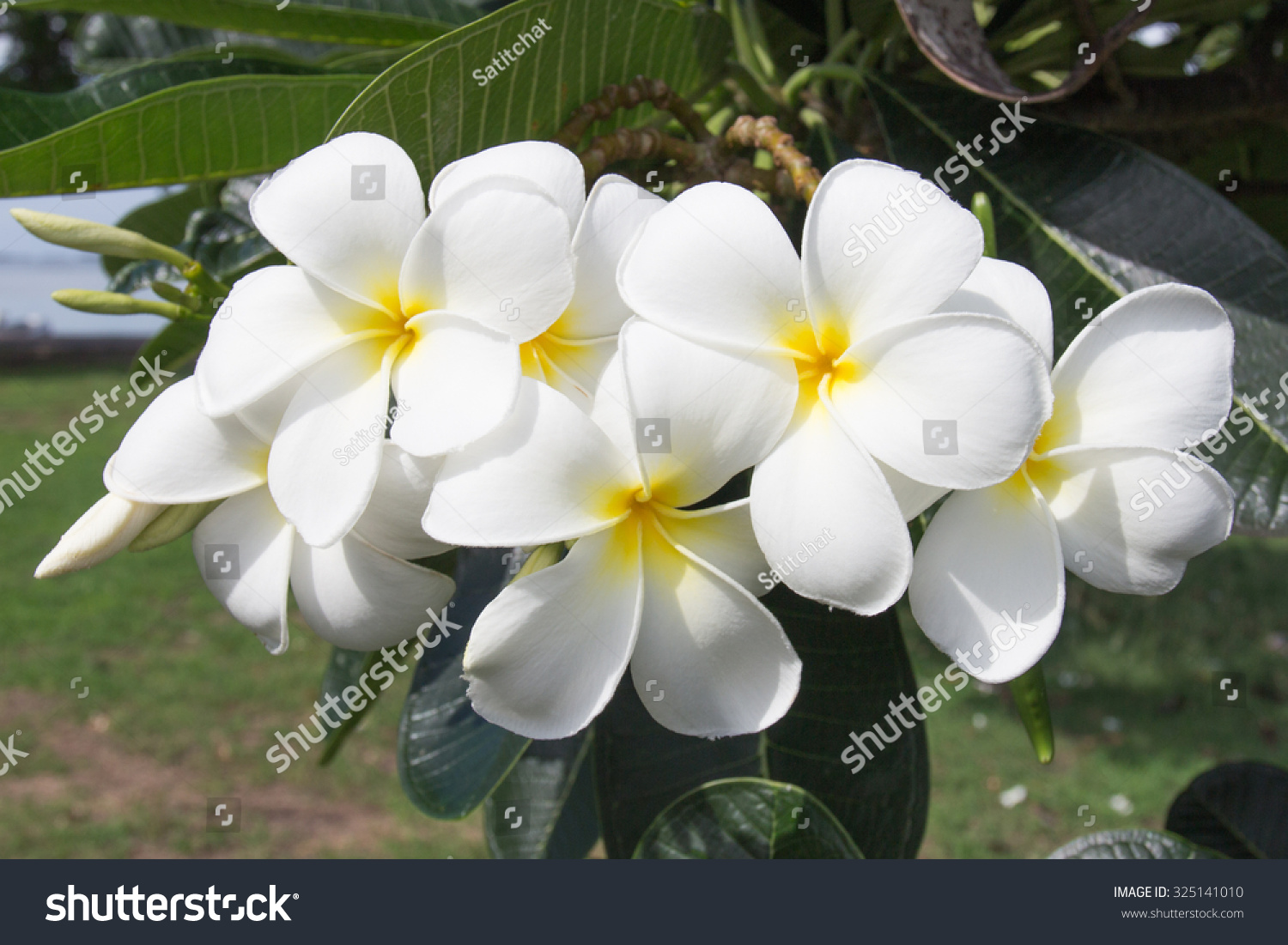 White Tropical Flower Stock Photo Edit Now 325141010 Shutterstock