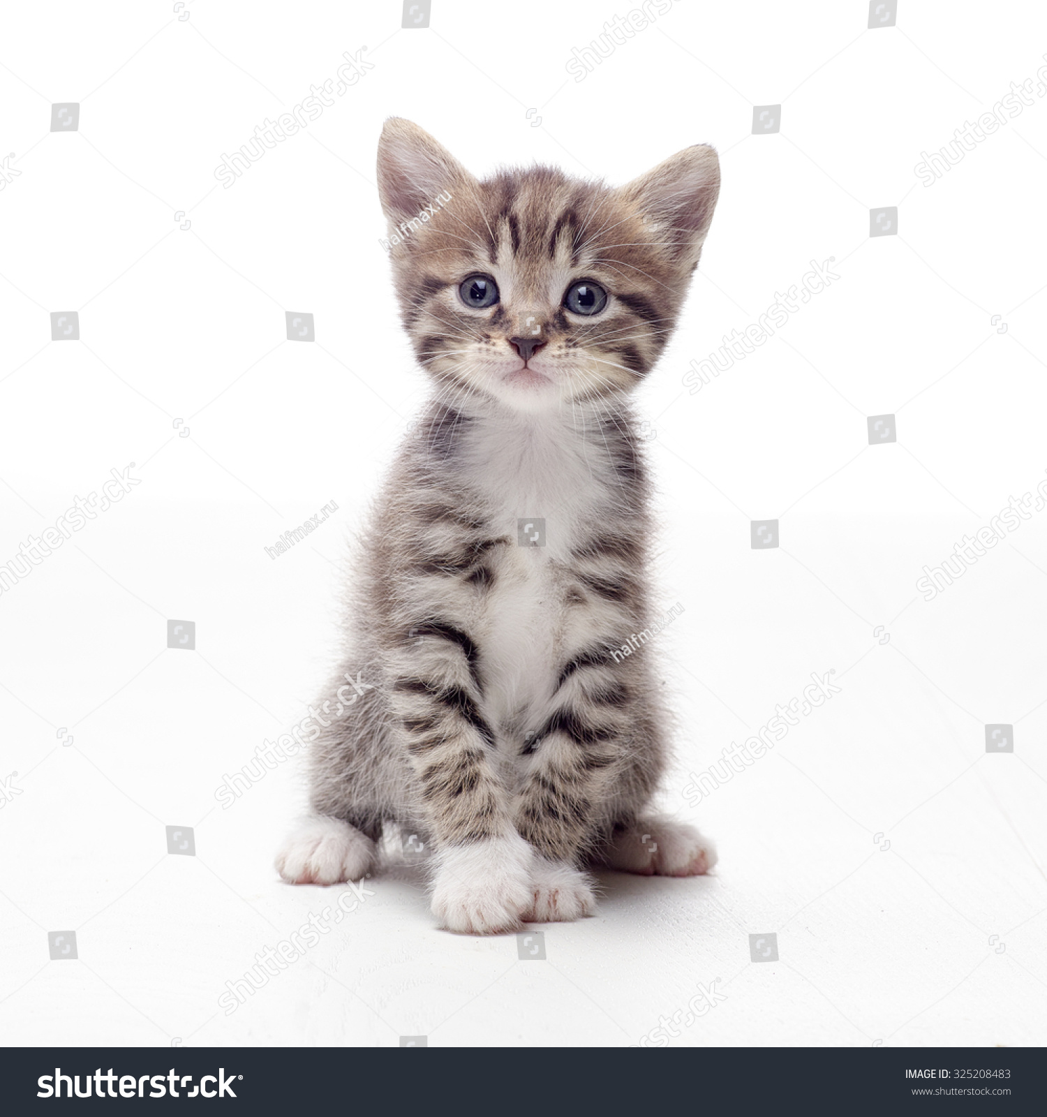 orange maine coon cats