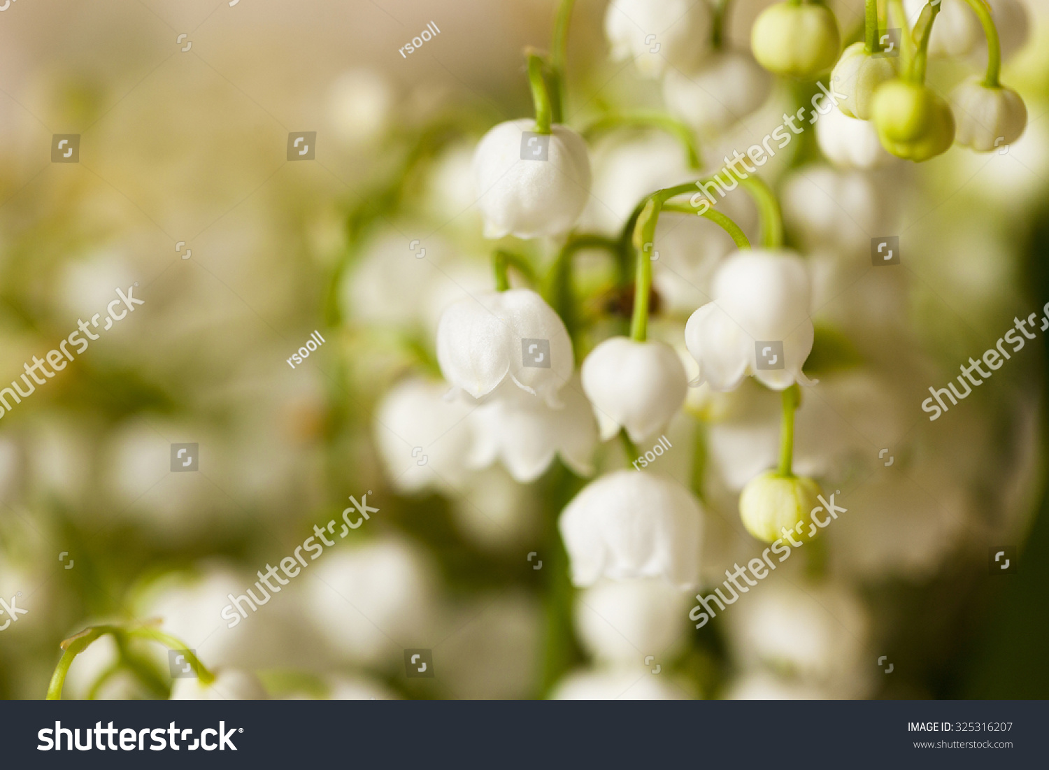 Photographed close up of a small white flower lily of the valley id 325316207 izmirmasajfo