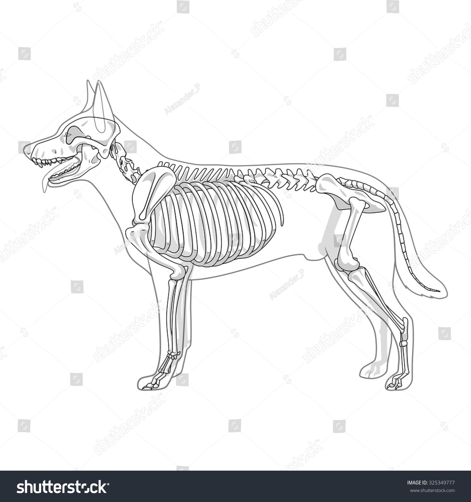 Dog Skeleton Veterinary Vector Illustration Stock Squirrel Diagram The Of A Greyhound Osteology Bones