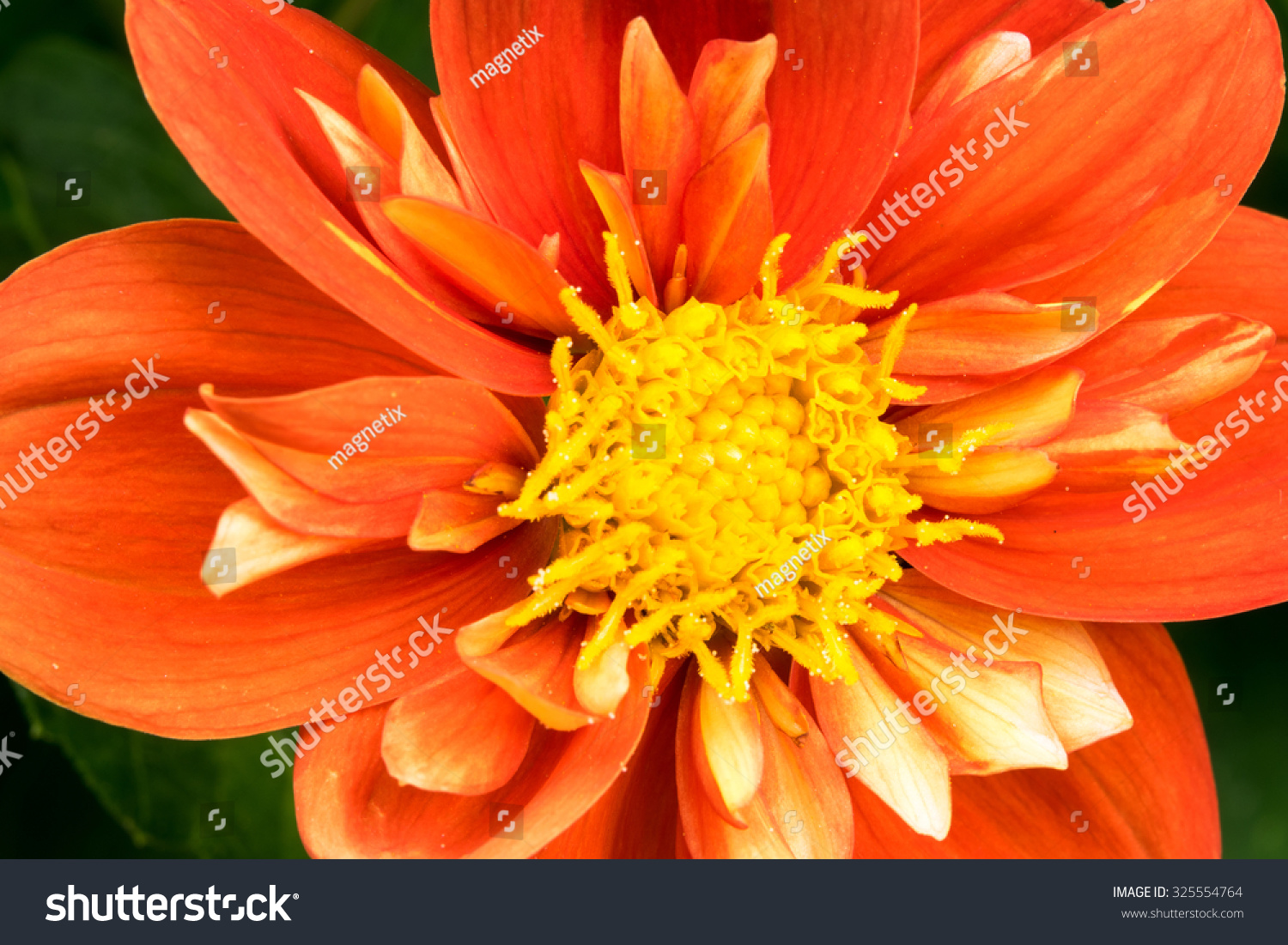 Royalty Free Orange Blossom With Yellow Center 325554764 Stock