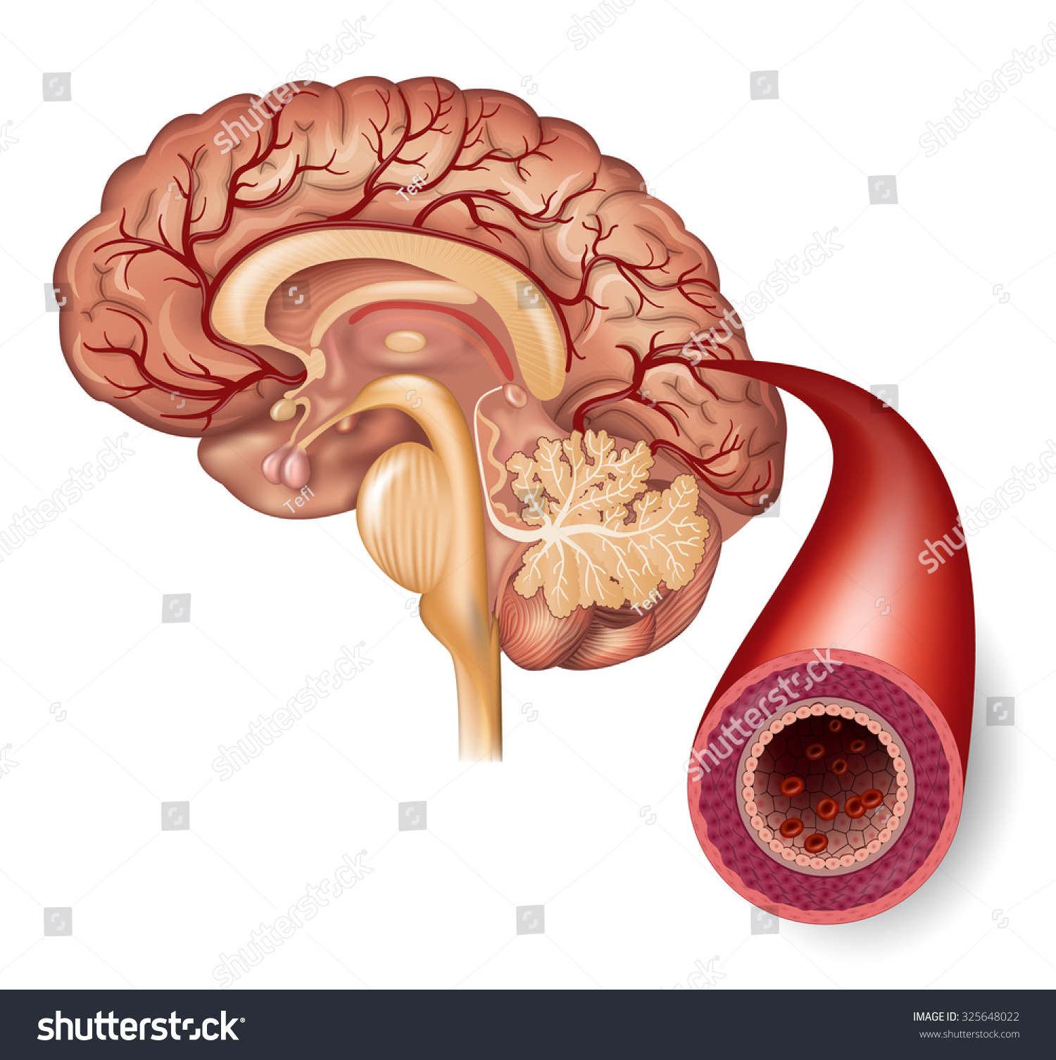 Normal Brain Artery Structure Detailed Illustration Stock ...