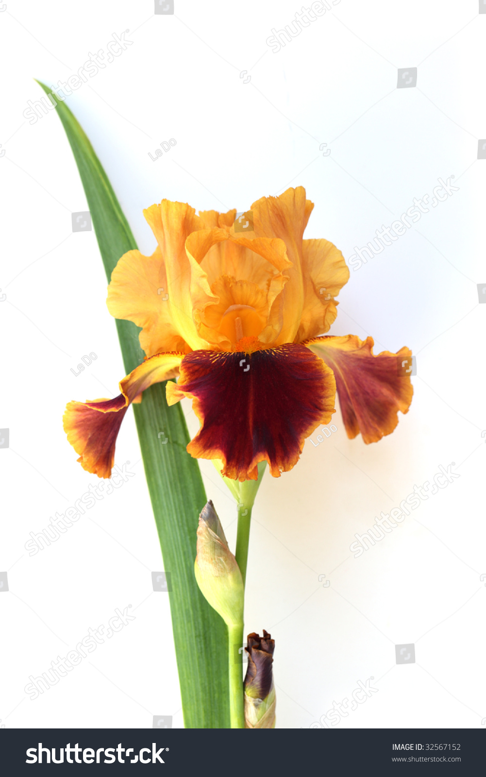 Yellow Red Iris Flower Plant Isolated Stock Photo Royalty Free